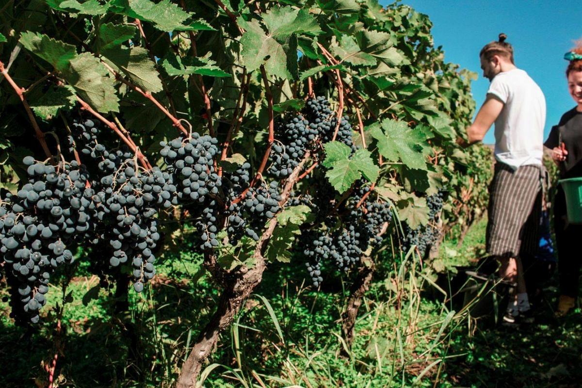 Artizani harvest | Ghvino.nl